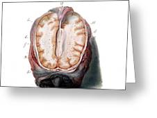 Brain, Anatomical Illustration, 1802 Greeting Card