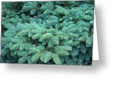 Branches Of Blue Spruce Greeting Card