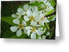 Brandy In Bud On The Pear Tree Greeting Card