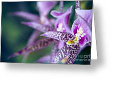 Bratonia Miltassia Charles M Fitch Izumi Orchids Greeting Card