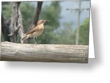 Brazilian Ovenbird Greeting Card