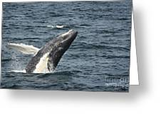 Breaching Humpback Whale Greeting Card by Jim  Calarese