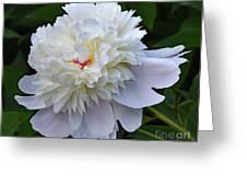 Breathtaking - Festiva Maxima Double White Peony Greeting Card