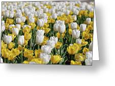 Breathtaking Field Of Blooming Yellow And White Tulips Greeting Card