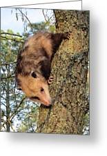 Brer Possum Greeting Card by David Sutter