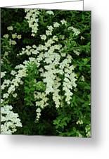 Bridal Wreath Greeting Card