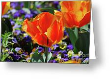 Bright And Colorful Orange And Red Tulip Flowering In A Garden Greeting Card