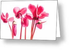 Bright Cyclamen Greeting Card