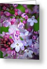 Bright Lilacs Greeting Card by The Forests Edge Photography - Diane Sandoval