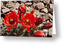 Bright Orange Cactus Blossoms Greeting Card