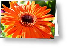 Bright Orange Gerbera  Greeting Card