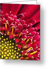 Bright Red Gerbera Daisy Greeting Card