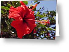 Brightly Colored Hibiscus On The Greek Island Of Mykonos  Greeting Card