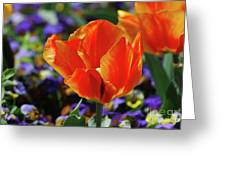 Brilliant Bright Orange And Red Flowering Tulips In A Garden Greeting Card