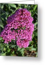 Brilliant Hot Pink Flowering Phlox Flowers In A Garden Greeting Card