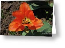 Brilliant Orange Tulip Flower Blossom Blooming In Spring Greeting Card