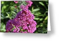 Brilliant Pink Blooming Phlox Flowers In A Garden Greeting Card