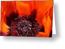 Brilliant Poppy Greeting Card