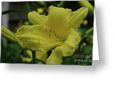 Brilliant Yellow Daylilies Flowering In A Garden Greeting Card