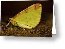 Brimstone Moth Resting Greeting Card