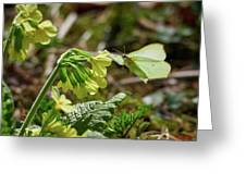 Brimstone On Cowslip Primrose Greeting Card