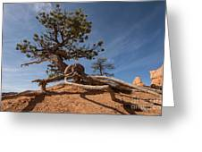 Bristle Cone Tree Greeting Card