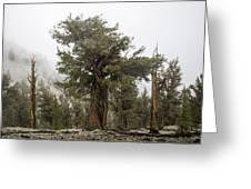 Bristlecone Elder Greeting Card