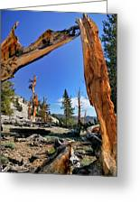 Bristlecone Pine Forest Greeting Card