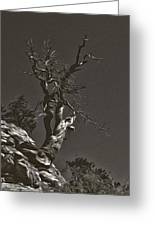 Bristlecone Pine In Black And White Greeting Card