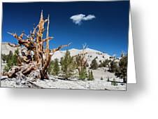 Bristlecone Pine - Pinus Longaeva Greeting Card