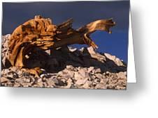 Bristlecone Pine - White Mountains Greeting Card