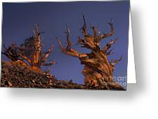 Bristlecone Pines At Sunset With A Rising Moon Greeting Card
