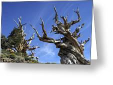 Bristlecone Trees Greeting Card
