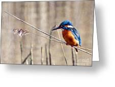 British Kingfisher Greeting Card