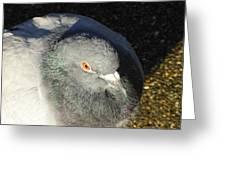 British Pigeon Greeting Card