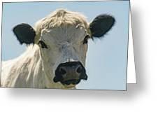 British White Cow Greeting Card