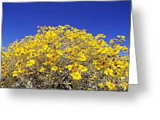 Brittlebush Greeting Card