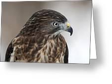 Broad-winged Hawk Greeting Card