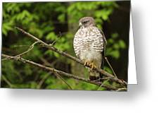 Broad Winged Hawk On The Lookout Greeting Card