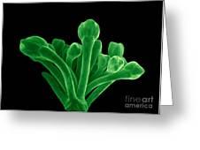 Broccoli, Esem Greeting Card