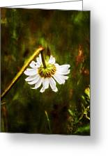 Broken Hearted Oxeye Daisy Asteraceae  Greeting Card