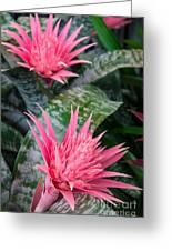 Bromeliad Plant 3 Greeting Card
