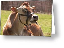Brown Cow Chewing Greeting Card