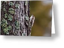 Brown Creeper Greeting Card
