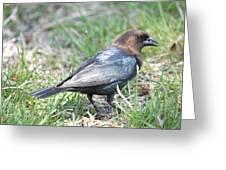 Brown-headed Cowbird 2 Greeting Card