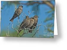 Brown-headed Cowbirds Greeting Card