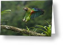 Brown-hooded Parrot Greeting Card