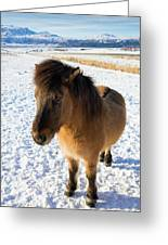 Brown Icelandic Horse In Winter In Iceland Greeting Card
