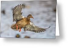 Brown Mallard Landing Greeting Card