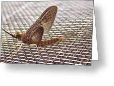 Brown Mayfly On Screening    Spring      Indiana Greeting Card